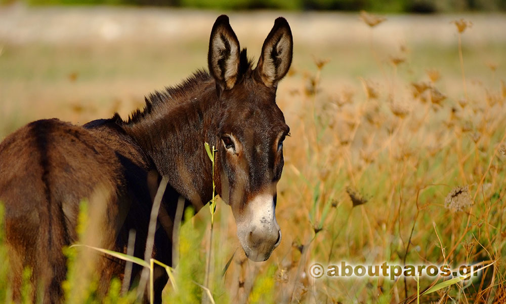 A donkey looks at the photographer