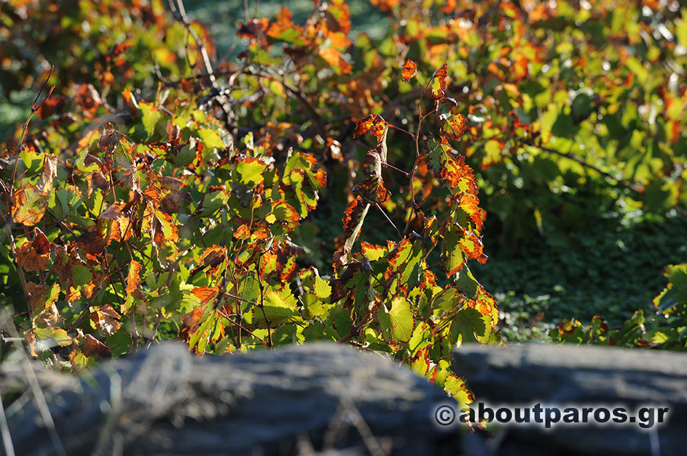 Autumn picture of a vineyard in Paros